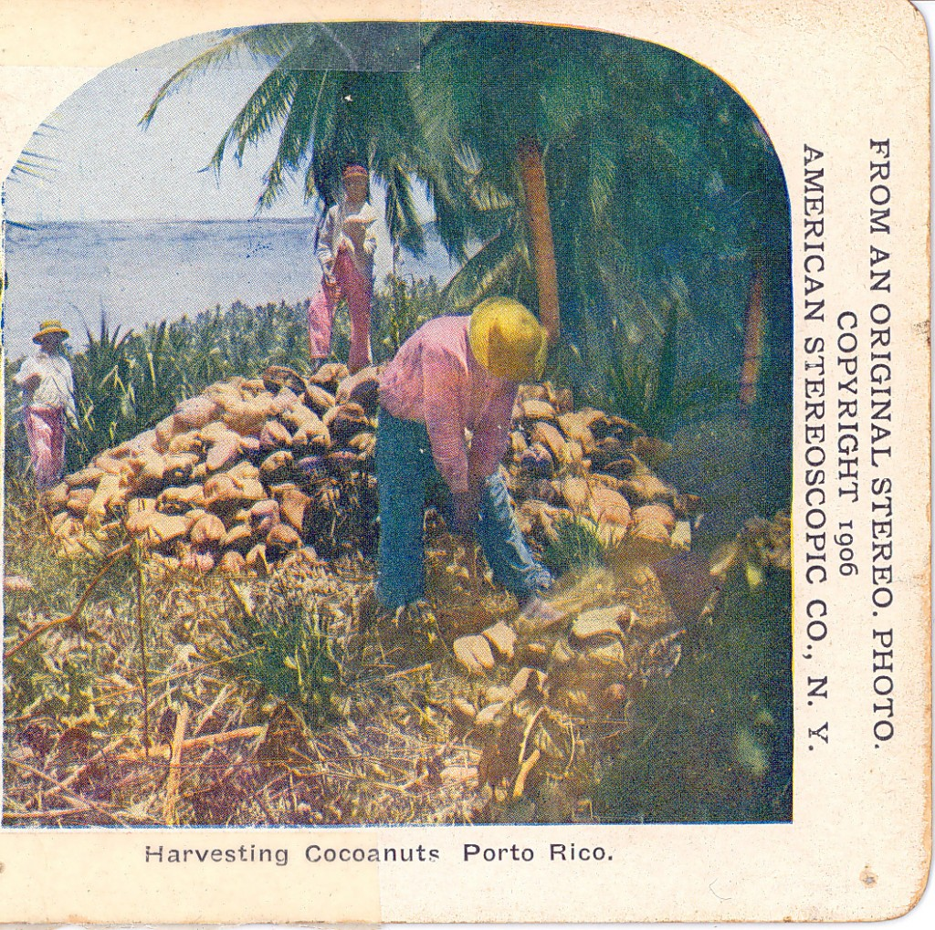Harvesting Cocoanuts